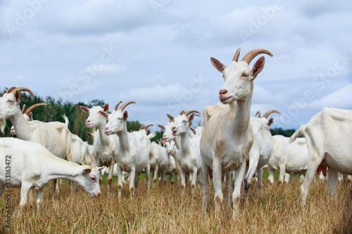 Cuadros en Lienzo Goats graze on the field
