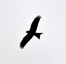 Red Kite Silhouette