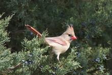 A Female Northern Cardinal Per...