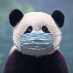 FototapetaGiant panda bear wearing a face mask