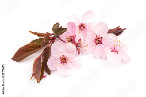 Fotografie, Obraz Cherry blossom , pink sakura flower isolated in white background