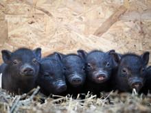 Cute Newborn Piglets. Vietnamese Pot-bellied Pigs