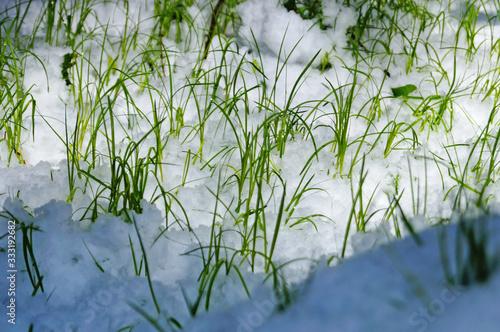 Green thin grass makes its way through white snow on a sunny spring day Tapéta, Fotótapéta