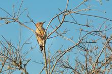 Red-bellied Woodpecker In A Tree