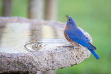 Male Eastern Bluebird Bathing In A Granite Bird Bath