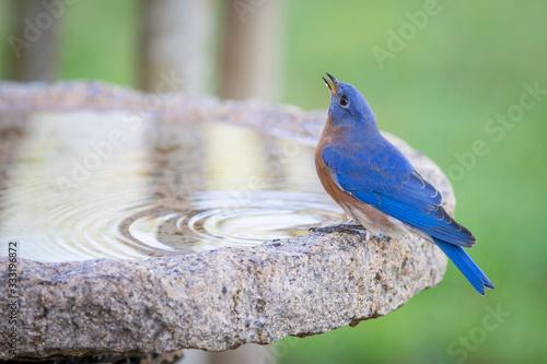 Male eastern bluebird bathing in a granite bird bath Fototapet