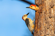 Red-bellied Woodpeckers At A N...