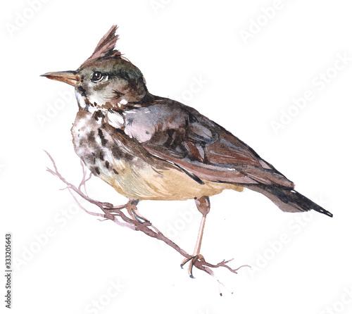 Obraz na plátně Watercolor Lark  bird animal on a white background illustration
