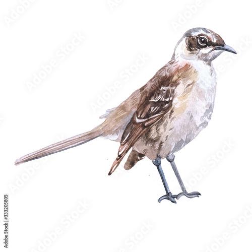 Watercolor mockingbird  bird animal on a white background illustration Fototapeta