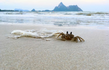 Horn Eyed Ghost Crab With Plastic Bag Debris On The Beach