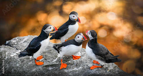 Atlantic Puffins bird or common Puffin in sunset gold background. Fratercula arctica. Norway most popular birds.