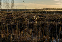 Cattails In The Swamp In Winter