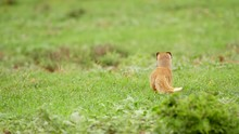 Yellow Mongoose In Green Grass...