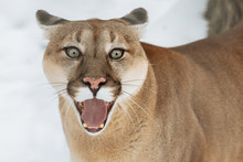 Portrait Of A Cougar, Puma, Panther, Winter Scene In Wild Life