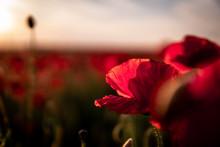 Close-up Of Poppy Flower At Su...