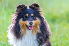Sheltie Dog With Tongue Hangin...