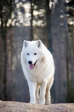 Walking Arctic Wolf. Canis Lupus Arctos.