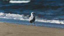 Mewa Na Plaży Morza Bałtyckiego
