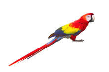 Red Macaw Bird Isolated On Whi...