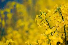 Golden Yellow Rape Flowers Are...