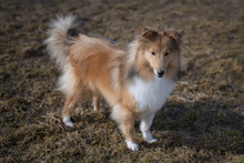 Sheltie Breed Small Dog In The...