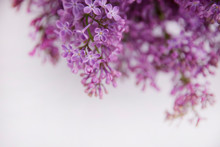 A Branch Of Blossoming Lilac (...