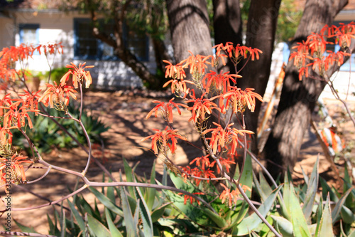 Red flowers on an Aloe Vera plant, a succulent species that thrives in Tucson AZ