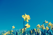 Yellow Daffodil Or Daffodil In...