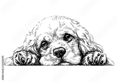 Obraz American Cocker Spaniel. Sticker on the wall. Sketch, drawn, artistic, black-and-white portrait of an American Cocker Spaniel puppy on a white background. - fototapety do salonu