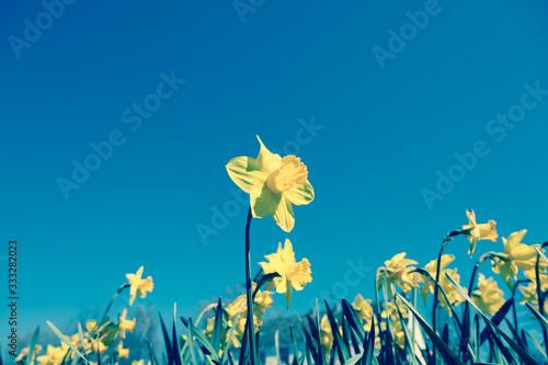 Yellow daffodil or daffodil in cross development style Poster Mural XXL