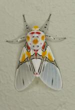 Tiger Moth (Idalus Crinis) Macro