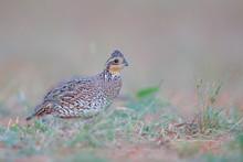 Northern Bobwhite (Colinus Virginianus) Female, South Texas, USA