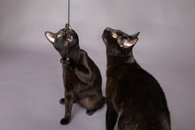 Two Black Cats Playing With A ...