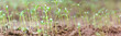 canvas print picture - panoramic view of Fresh green sprouts. Fresh green sprouts in soil