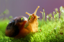 Snail Moving In The Grass.