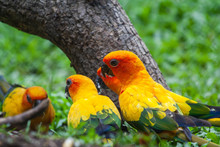 Sun Conure Parakeet (Aratinga ...