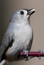 Tufted Titmouse With Seed In B...