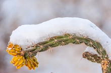 Cane Cholla And Fruit Cylindropuntia Imbricata Covered In Snow