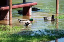 Group Of Mallard Ducks Feeding...