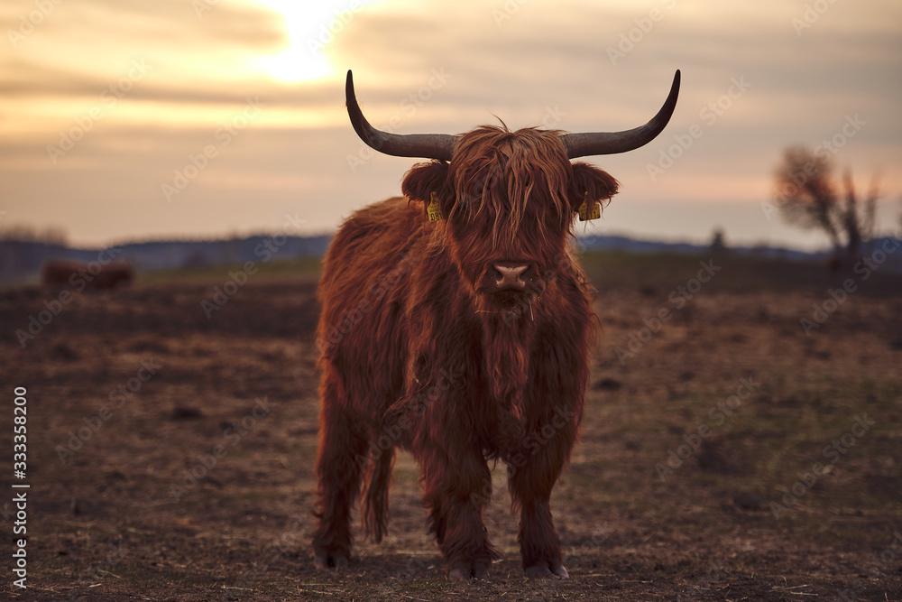 Fototapeta Young Scottish Highland Beef Cattle closeup