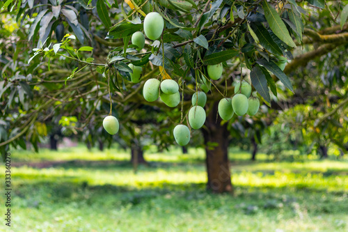 Foto Lots of green mangoes hanging on tree