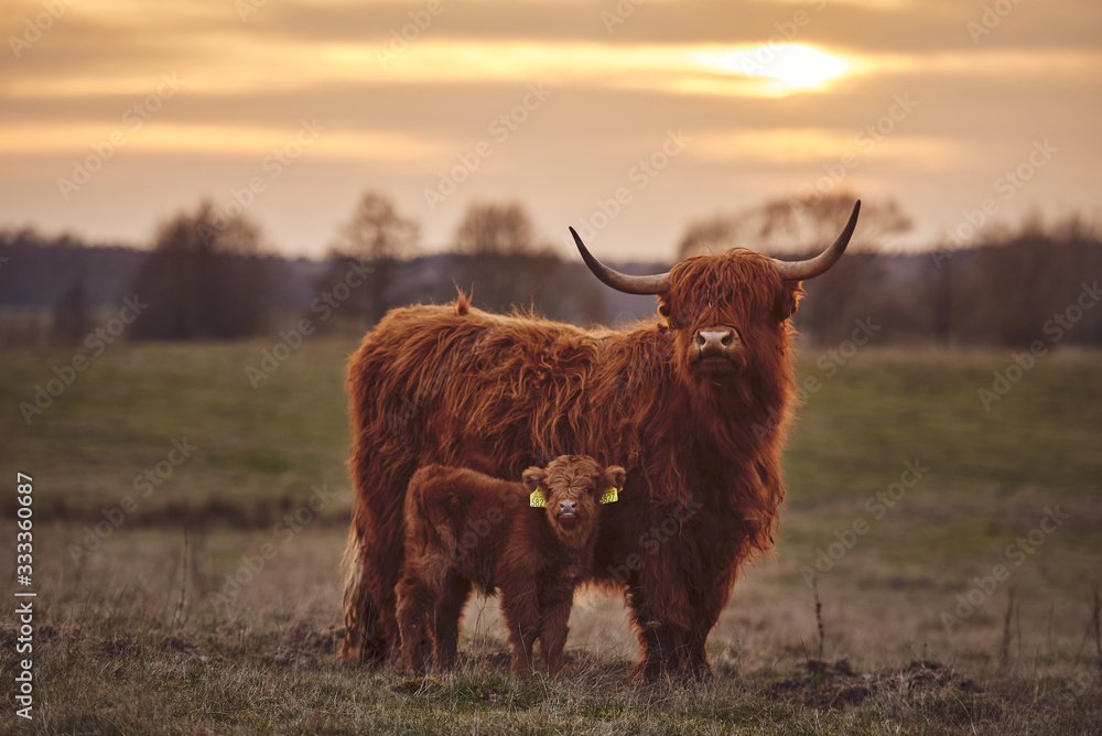 Fototapeta Scottish Highland Cows And Calf