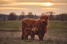 Scottish Highland Cows And Calf