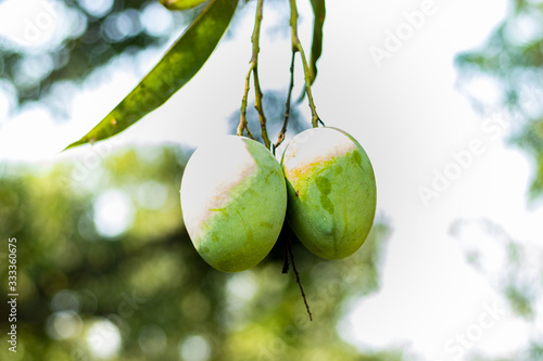 Two green mangoes hanging on tree in mango garden