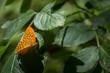 canvas print picture - oranger schmetterling im fruehling