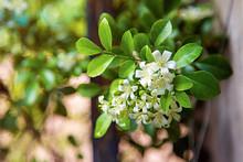 White Flower Of Orange Jessamine (Murraya Paniculata) With Green Leaves Bush At Garden In Front Yard.