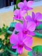 canvas print picture - Dendrobium bigibbum orchid flower colorful nature