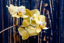A Branch Of Yellow Orchids On ...
