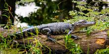 Alligator On Log