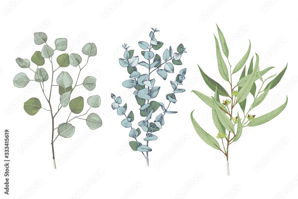 Fototapeta 3 types of eucalyptus